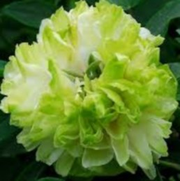 пион древовидный «Зеленый шар» (Lu Mu Ying Yu - Green Jade)