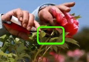 Обрезка древовидного пиона после цветения - место среза обведено