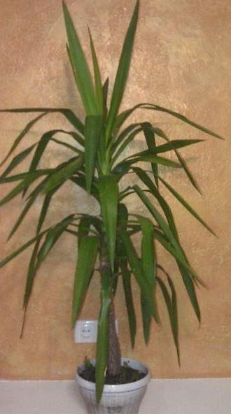 Юкка алоэлистная (Yucca aloifolia L.)