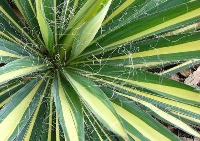 Юкка нитчатая (yucca filamentosa) «Color guard»