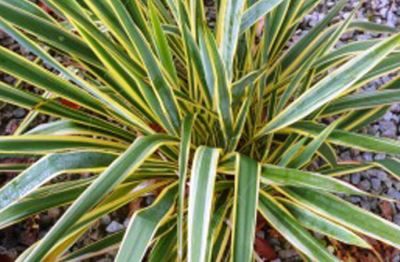 Юкка нитчатая (yucca filamentosa) «Bright edge»