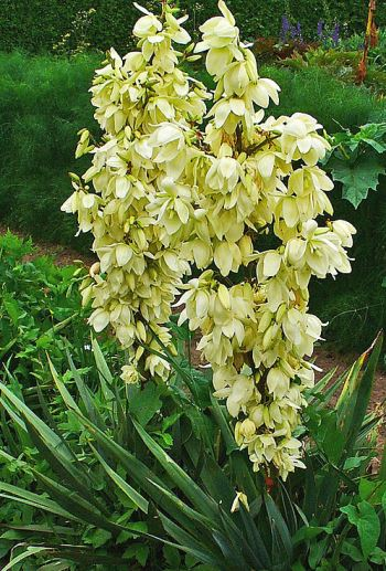 Юкка нитчатая (филаментоза) с цветками
