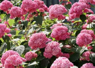 Гортензия древовидная «Пинк Анабель» (Pink Annabelle)