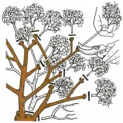 Обрезка весной крупнолистной гортензии пример
