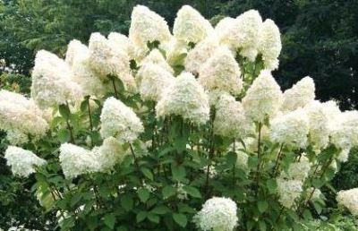 Гортензия метельчатая «Грандифлора» (Grandiflora)