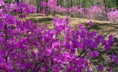 листопадный рододендрон Даурский