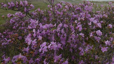 листопадный Рододендрон Ледебура