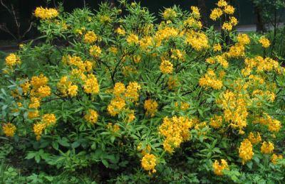 листопадный Рододендрон Желтый