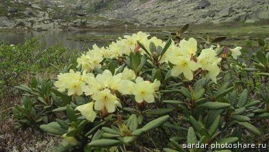 вечнозеленый рододендрон Золотистый (Кашкара)