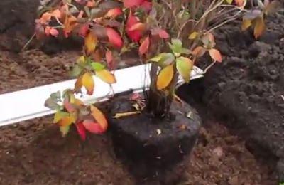 правильная глубина посадки рододендрона в открытый грунт