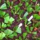 черенки рододендрона на укоренении