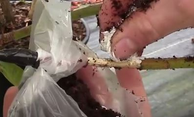 размножение воздушной отводкой рододендрона