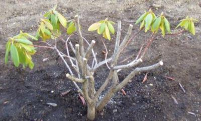 Омолаживающая обрезка вечнозеленого рододендрона весной