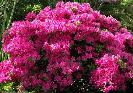 листопадный Рододендрон Японский