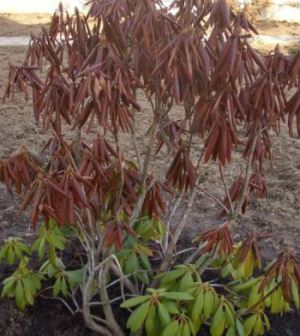 подмерзшие листья вечнозеленого рододендрона после неудачной зимовки