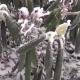 Скрученные листья рододендрона зимой