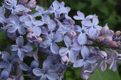Сирень сорт «Wedgwood Blue» (Веджвуд блю) фото