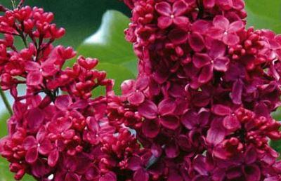 Сирень обыкновенная сорт «Красная Москва» фото и описание