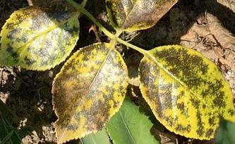 Листья розы пораженные черной пятнистостью