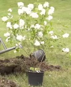 посадка чубушника в открытый грунт, как правильно сажать садовый жасмин