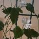 жасмин самбак цветки, уход за цветком в домашних условиях