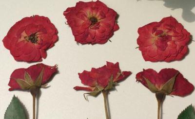 сушка бутонов розы в книге и под прессом