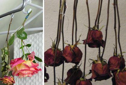 засушивание роз естественным способом