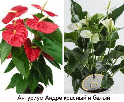 Антуриум Андре (Anthurium Andreanum) красный и белый