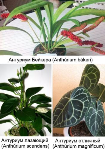 Антуриум Бейкера (Anthurium bakeri), Антуриум лазающий (Anthurium scandens), Антуриум отличный (величественный) (Anthurium magnificum)