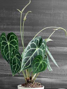 Антуриум хрустальный (Anthurium crystallinum) фото