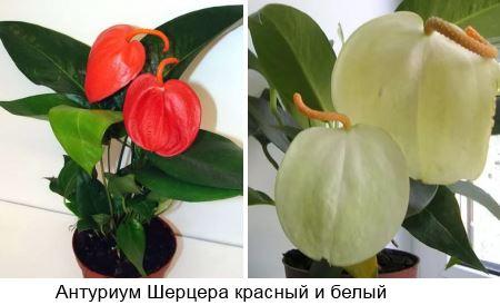 Антуриум Шерцера (Anthurium scherzerianum) красный и белый