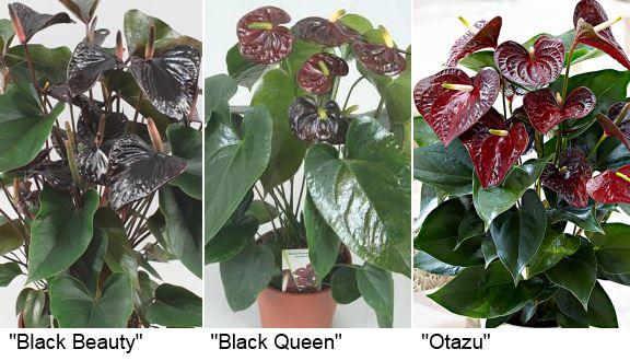 сорта черного антуриума: «Black Beauty» (Блэк бьюти, черная красота), «Black Queen» (Блэк квин, черная королева) и «Otazu» (Отазу).