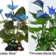 антуриум синий и голубой: «Picasso Blue» (Пикассо голубой (синий)) и «Princess Alexia Blue» (Принцесса Алексия голубой).