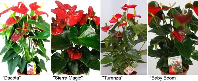 Антуриум «Dakota» (Дакота), «Sierra Magic» (Сиерра мэджик), «Turenza (Perfect red)» (Туренза) и «Baby Boom» (Беби бумер).