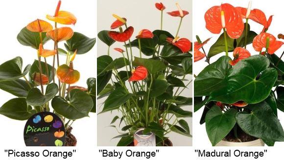 антуриум оранж: : «Picasso Orange» (Пикассо оранж), «Baby Orange» (Беби оранж), «Madural Orange» (Мадурал оранж)