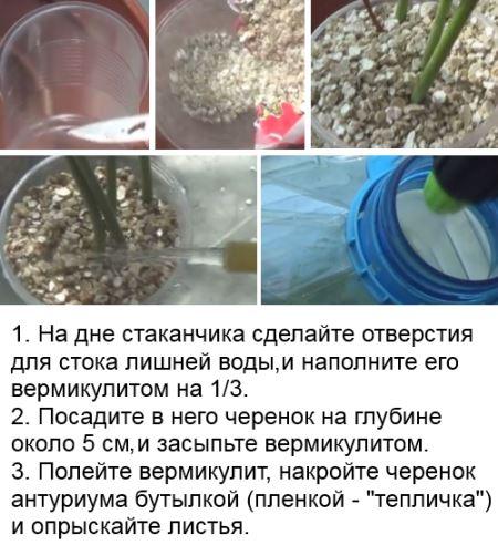 как размножить черенками и омолодить антуриум в домашних условиях