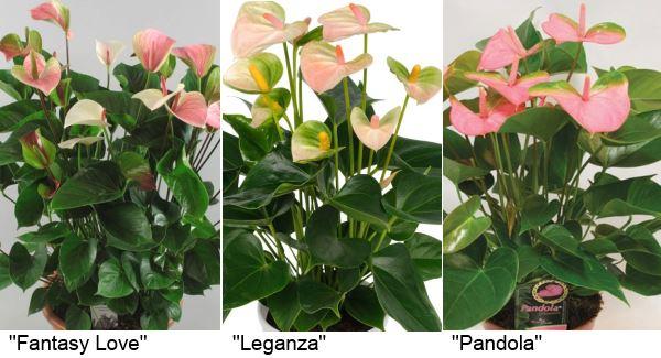Розово-зеленые антуриумы: «Fantasy Love» (Фэнтези лав), «Leganza» (Леганза), «Pandola» (Пандола).