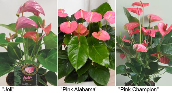 розовые сорта «Joli» (Джоли), «Pink Alabama» (Пинк Алабама) и «Pink Champion» (Пинк чемпион, розовый).