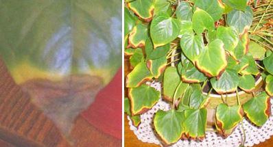 сохнут и желтеют кончики листьев
