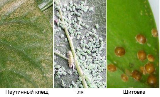 паутинный клещ, тля, щитовка на листе