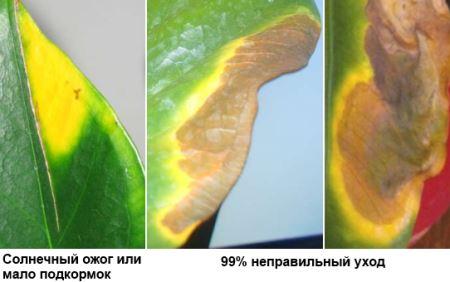 желтеют и сохнут листья у антуриума