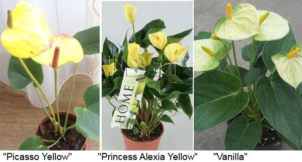 желтый антуриум: «Picasso Yellow» (Пикассо желтый), «Princess Alexia Yellow» (Принцесса Алексия желтый), «Vanilla» (Ванилла, ваниль).
