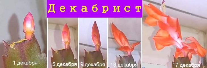 бутон и цветок шлюмбергеры по дням