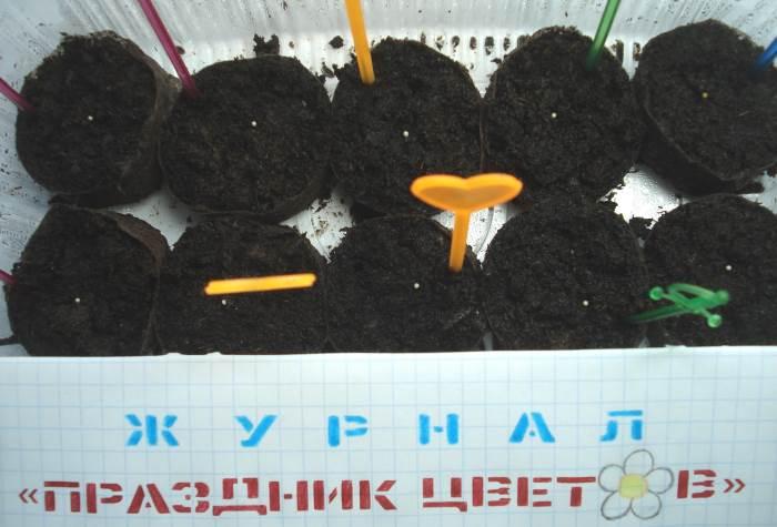 Посев семян эустомы в торфяные таблетки на рассаду