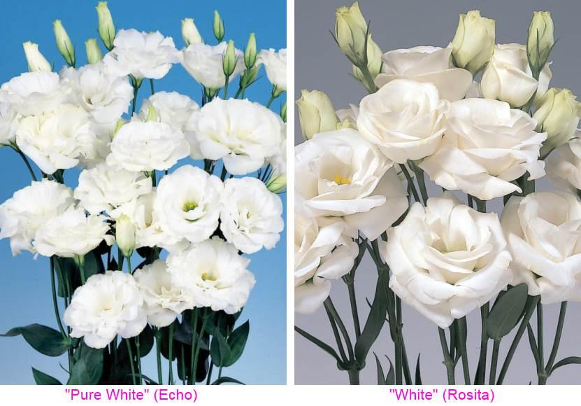 эустома белая Эхо и Розита
