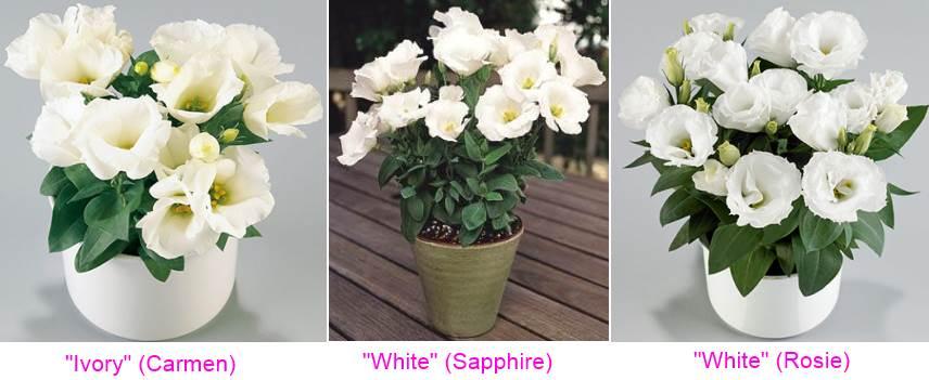 низкорослые сорта белой эустомы, Кармен, Сапфир, Рози