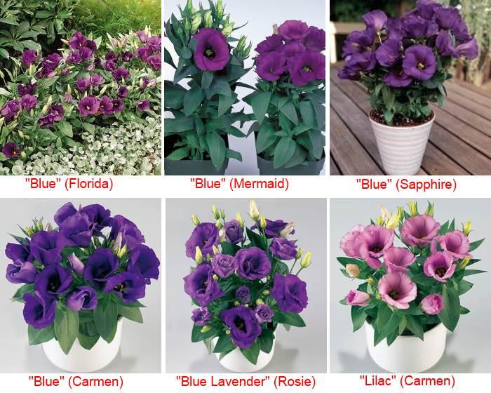 низкорослая эустома фиолетового цвета из линий: Флорида, Русалочка, Сапфир, Кармен, Рози и сиреневая лилак Кармен