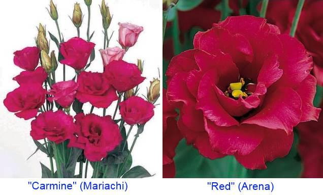 эустома красная Мариачи и Арена