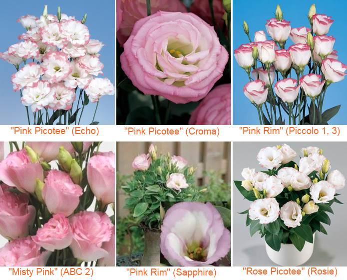 эустома розово-белая (пинк пикоти): Эхо, Крома, Пикколо, АВС и карликовая Сапфир и Рози
