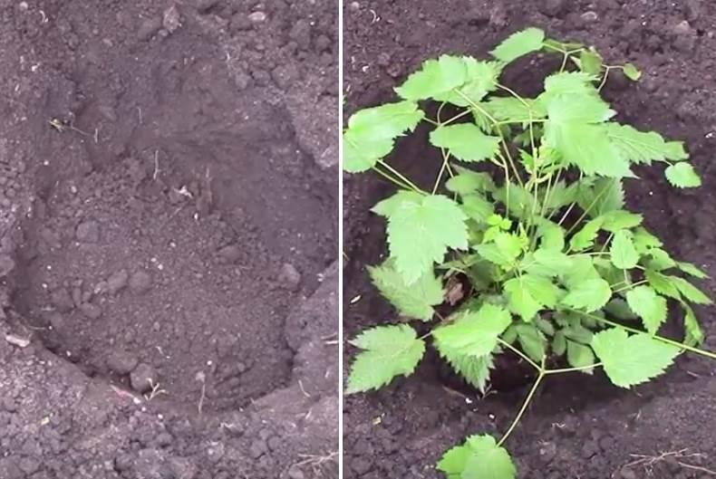 как правильно посадить астильбу в открытом грунте